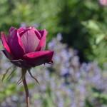 rose-1409210_960_720