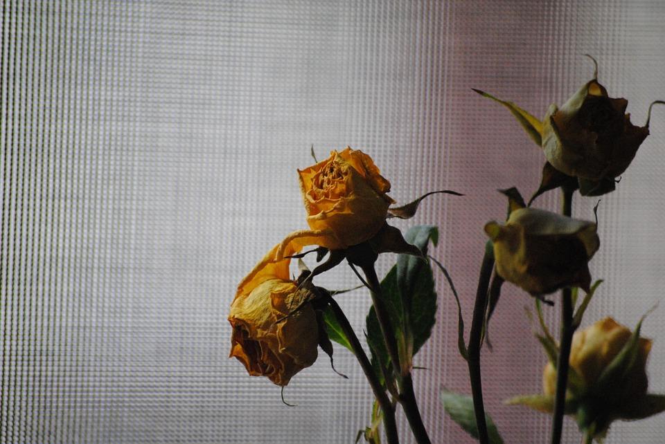 rose-676760_960_720